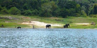 gal-oya-elephants